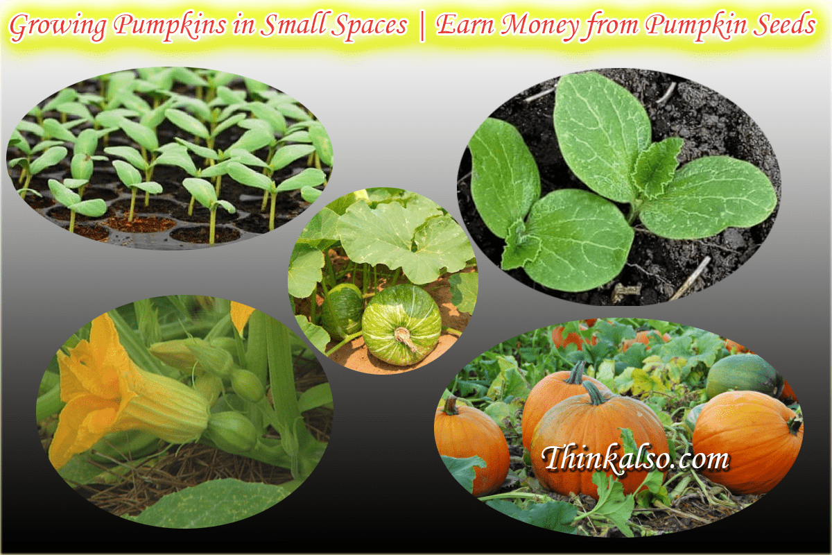 Growing Pumpkins in Small Spaces - Earn Money from Pumpkin Seeds